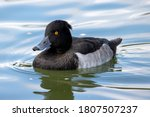 A Yellow Eyed Tufted Duck