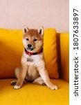 Japanese Breed Shiba Inu Pretty ...