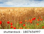 Wheat Field And Blurry Poppy...