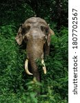 Small photo of TUSKER ON GREENS IN RAIN FOREST