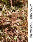 Small photo of Acalypha plant with hairy reddish green leaves background