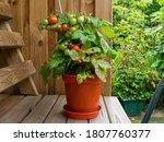 Dwarf Tomato Plant In A Pot...