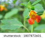 A Beautiful Orange Jewelweed...