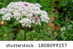 Daucus Carota Plants Or Wild...