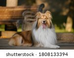 The Rough Collie Dog Walking....
