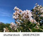 Lagerstroemia Indica Also Know...