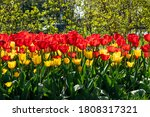 Yellow And Red Tulip Flowers On ...