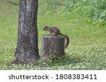 Fox Squirrel Posing On A Tree...