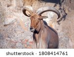 Portrait Of Young Mouflon With...