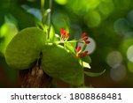 Close Up Ant Plant Or Dischidia ...