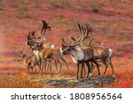 Curious herd of Barrenland Caribou keep an eye out for predators in Canada