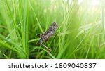 Grass Hopper Crawling Up The...