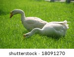 A couple of wild geese on green lawn - stock photo