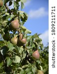 Pear Tree Close Up With Fruit...