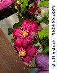 Crimson Flowers Of Clematis...