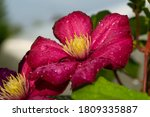 Crimson Clematis Flower After...