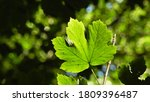 Green Maple Leaf In The...