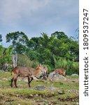 Impala Or Antelope At The Park.