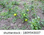 Green Pepper Grows In The Beds...