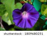 Purple Morning Glory Flower...