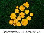 Beautiful Yellow Chanterelle...