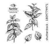 Hand Drawn Nettle Branches With ...