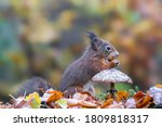 Cute Hungry Red Squirrel ...