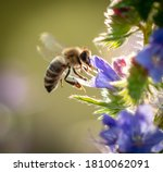 A Bee Collects Honey On Blue...