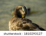 Closeup Of Mallard Duck With...
