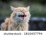 Funny Ginger Cat Laughs In The...