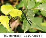 Camouflaged Female Eastern...