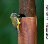 Small photo of Colorful Yellow Bird, Yellow-bellied Warbler (Abroscopus superciliaris) on feeding his child, Thailand