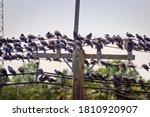 A Huge Number Of Blue Dove ...