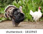 A Pair  Turkeys