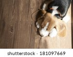 portrait of young beagle dog... | Shutterstock . vector #181097669
