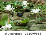 Small photo of A Black Crake (Amaurornis flavirostris)walking on lily pads