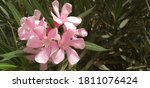 Tree Of Pink Flowers In The...