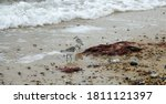 Sanderlings On Seashore In...
