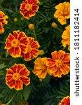 Beautiful Marigold Flowers Are...