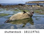southern elephant seal | Shutterstock . vector #181119761