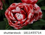 A Red Filled Tulip Bloomed Wit...