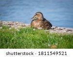 Duck Sitting On A Green Grass...