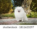 Small photo of Pomeranian puppy poses very beautifully and runs briskly in the forest on the field