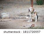 Unhappy  Sad Beagle Dog Kept O...