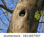 Squirrel Peeking Out From A...