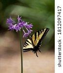 A Pale Yellow Swallowtail...