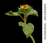 Unopened Sunflower Isolated On...