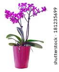 purple orchid in a pink pot ...   Shutterstock . vector #181235699