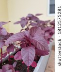 Red Spinach Or Amaranthus...