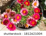 Red And Pink Flowers In The Pot....